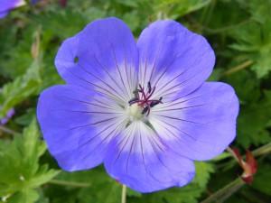 Geranium_blue